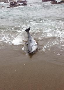 「東通村に打ち上げられていたイルカ」写真