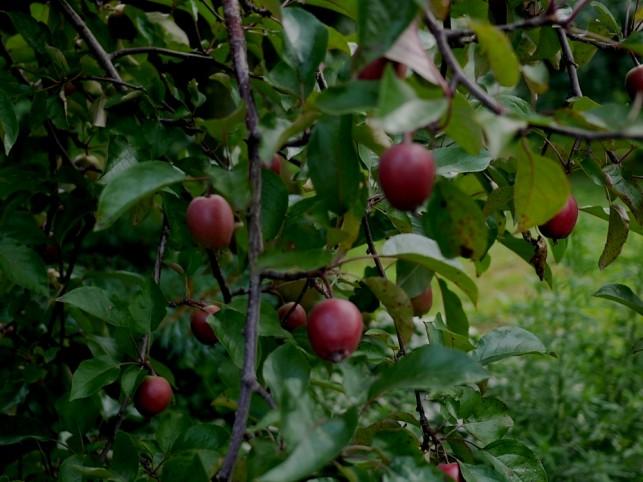 赤~いりんご