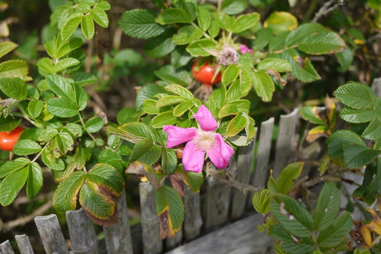 青森 三八 三沢市 花 はまなす
