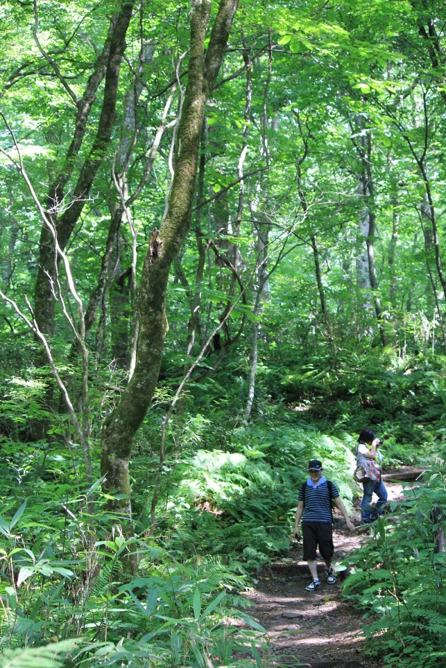 「傘いらず」ブナ自然林の絨毯です@十二湖