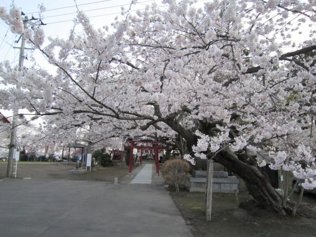 天満宮の桜