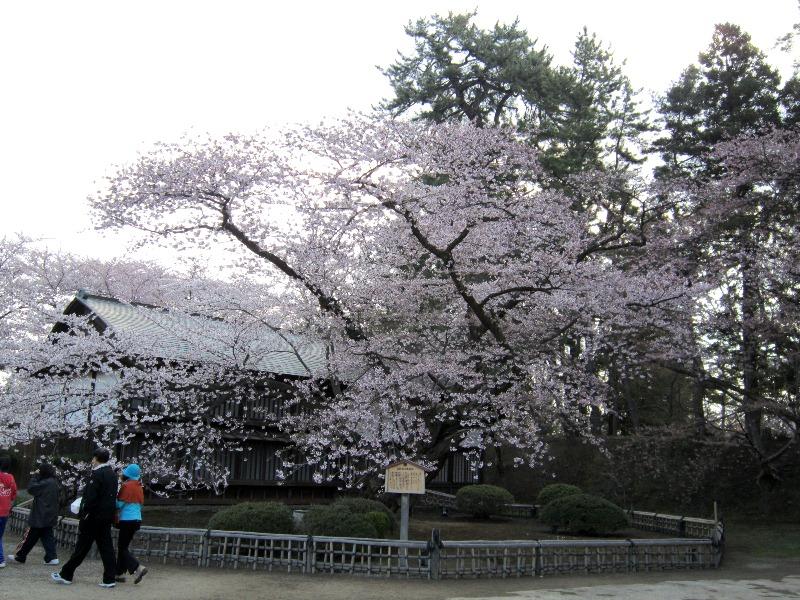 日本最古のソメイヨシノ