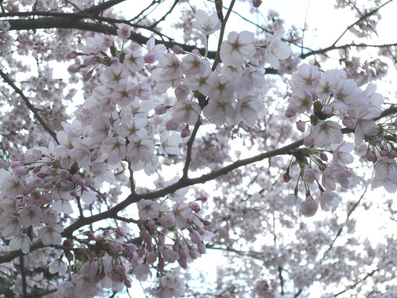 青森 風景 春 津軽 弘前市 弘前公園 桜