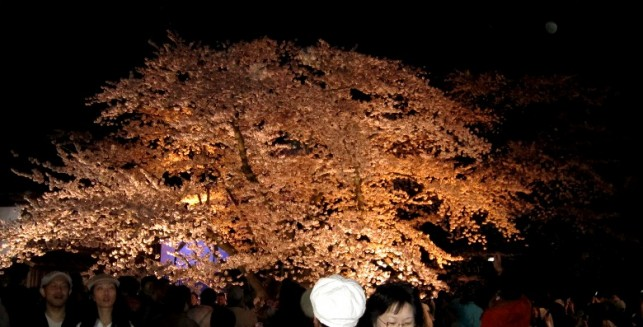 日本最古のソメイヨシノー夜桜ー