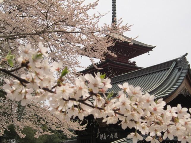東北一の美塔と桜