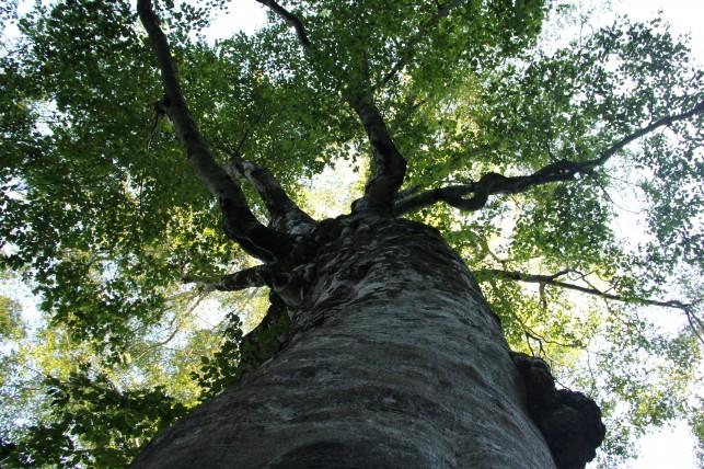 THEパワースポット・白神山地のマザーツリー
