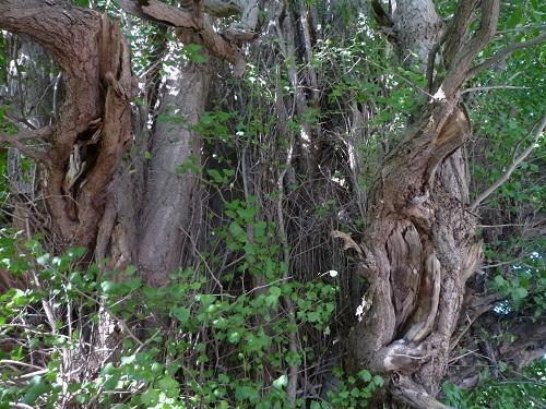青森 風景 秋 上北 七戸町 新館神社 天然記念物 イチョウ 巨木 幹