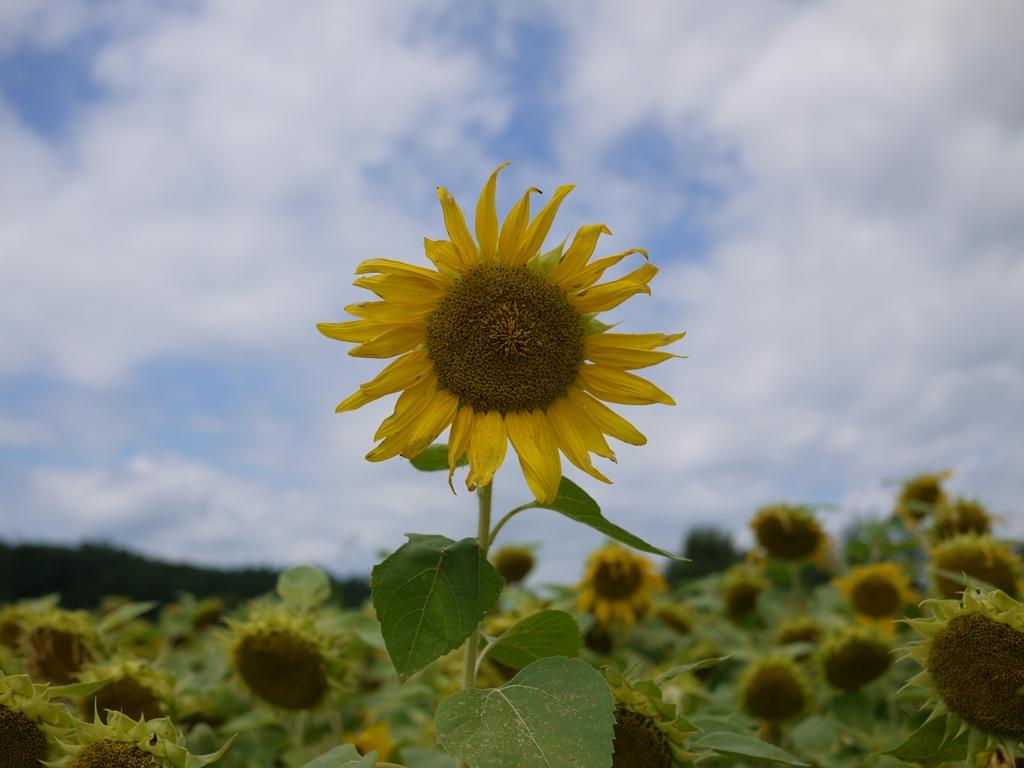 青森 風景 夏 秋 三八 八戸市 ひまわり ヒマワリ 向日葵
