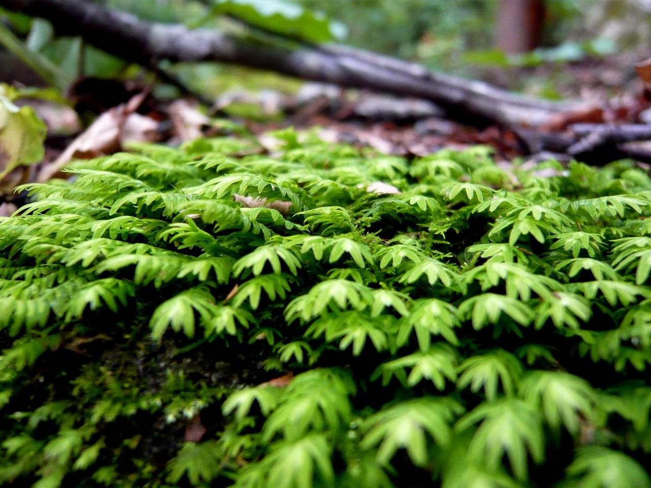 青森 上北 十和田市 風景 秋 奥入瀬渓流 蔦の森 鳳凰苔