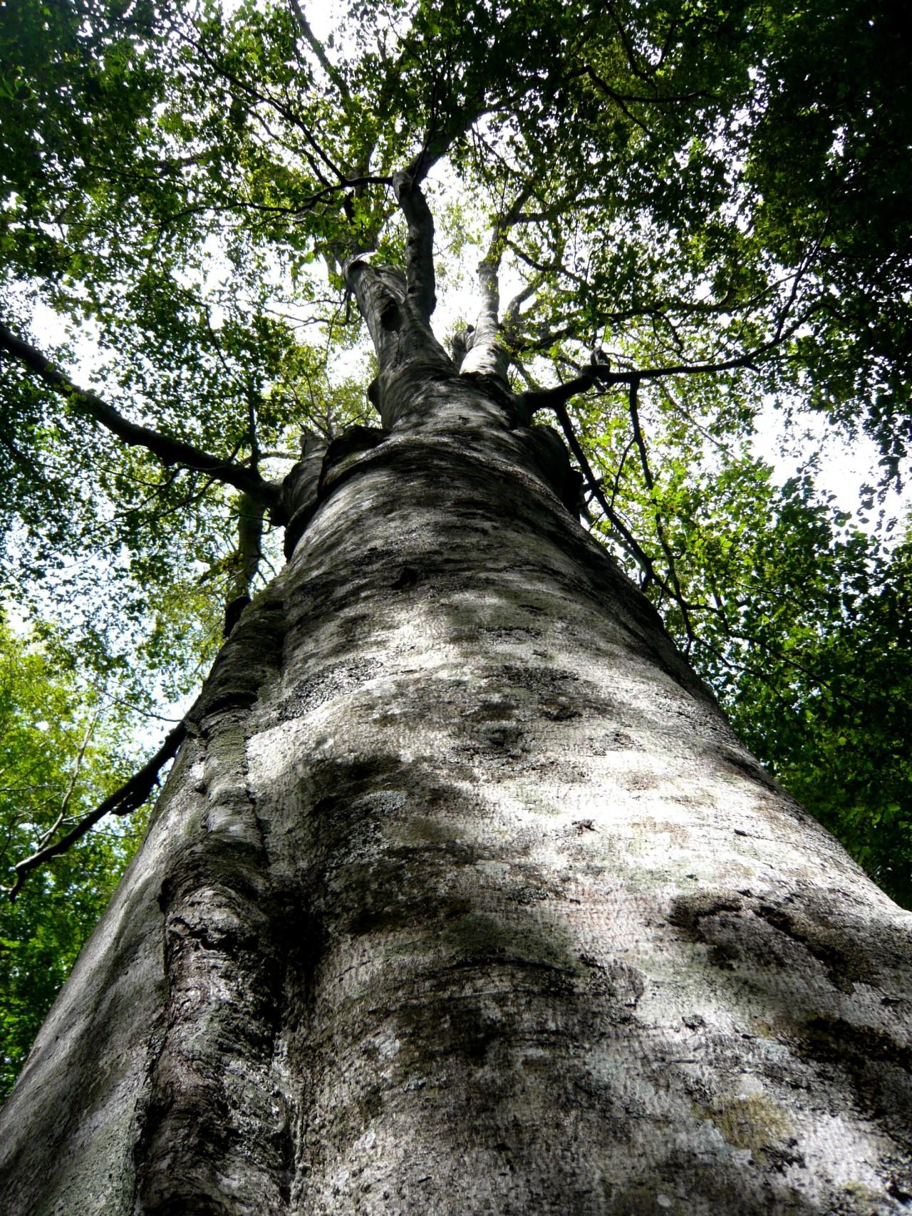 青森 上北 十和田市 風景 秋 奥入瀬渓流  蔦の森 大樹