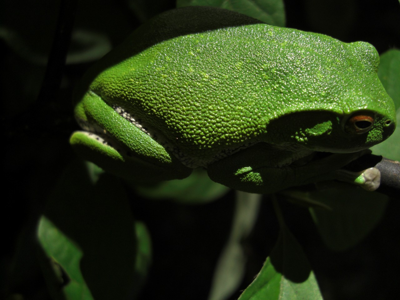 青森 生物 カエル 蛙 両生類
