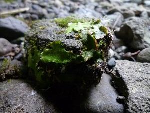 青森 風景 秋 上北 十和田市 奥入瀬渓流 自然 コケ 苔 石