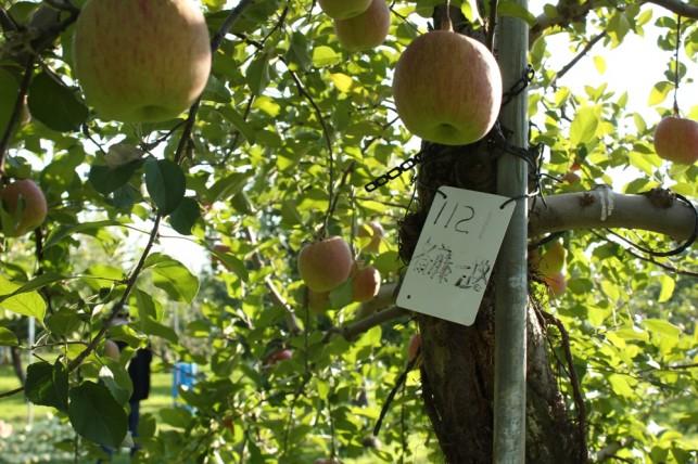 名札とりんごの樹