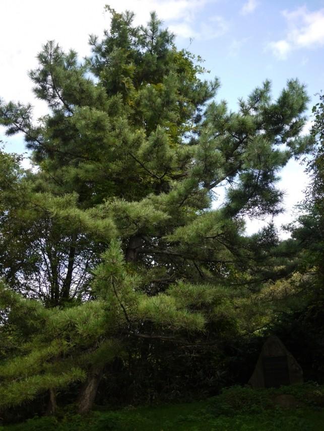 樹齢430年の松