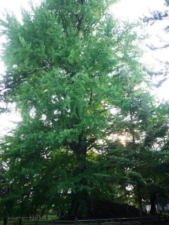 弘前城西の郭の根上がりイチョウ