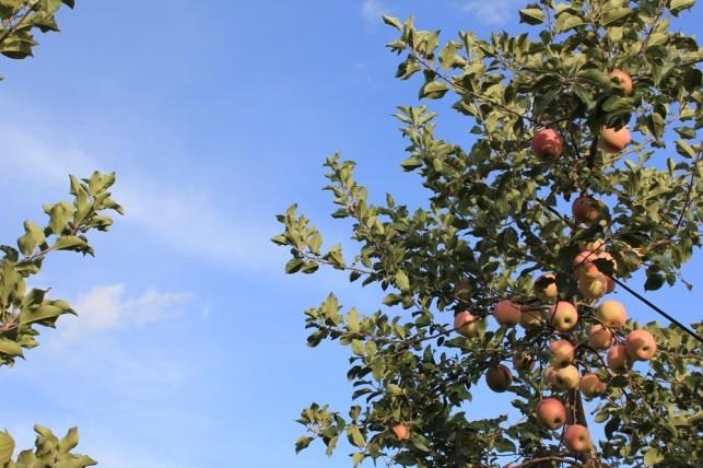 りんごの園1