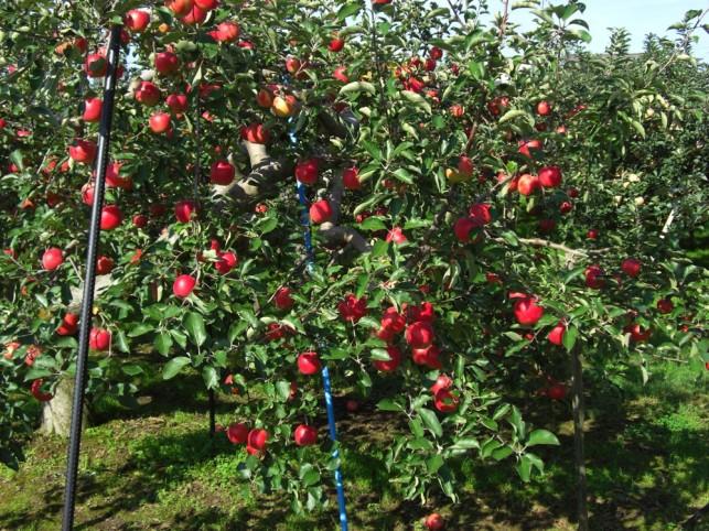 りんご園1