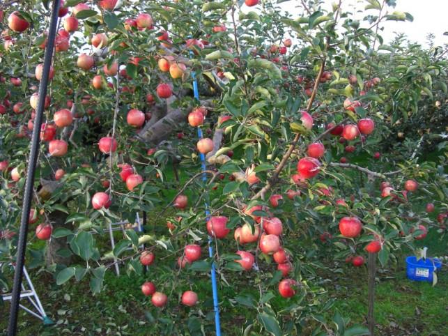 りんご園2