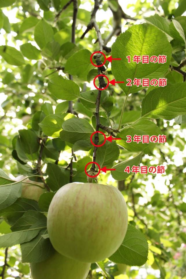 りんごの節