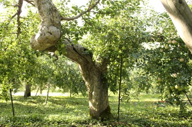 りんご木1