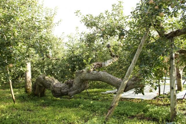 りんごの樹2