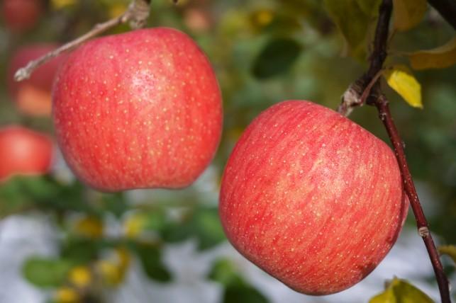 収穫!!宝の「いぼり・葉隠りんご」 りんご農家 田沢 明裕さん ~鶴田町~