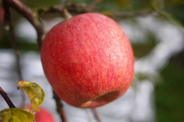 いぼり・葉隠りんご2