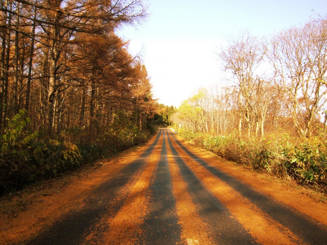 青森 風景 秋 冬 津軽 青森市 落ち葉 黄色 道路 綺麗 鮮やか