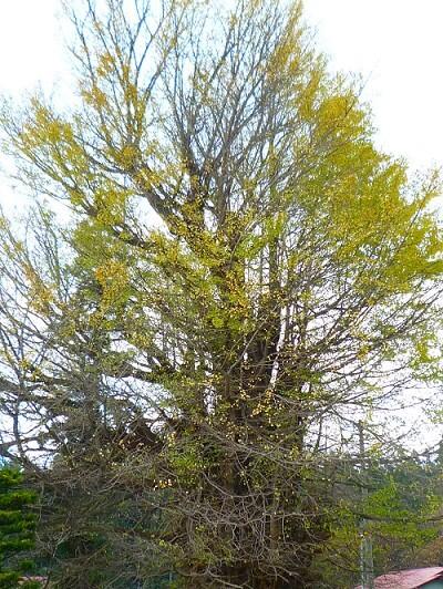青森 風景 秋 新館神社のイチョウ 木 落ち葉 黄金
