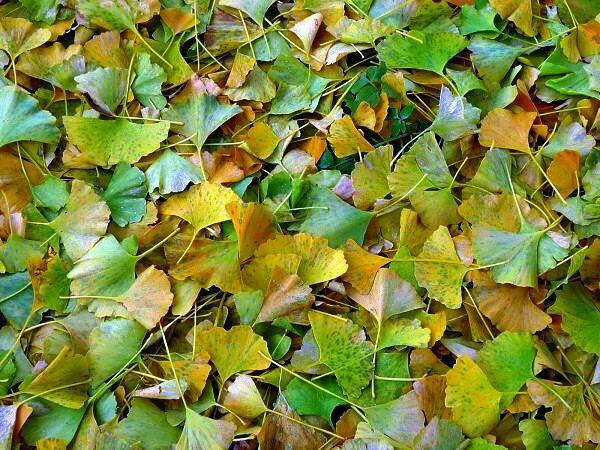 青森 風景 秋 新館神社のイチョウ 木 落ち葉 黄 緑