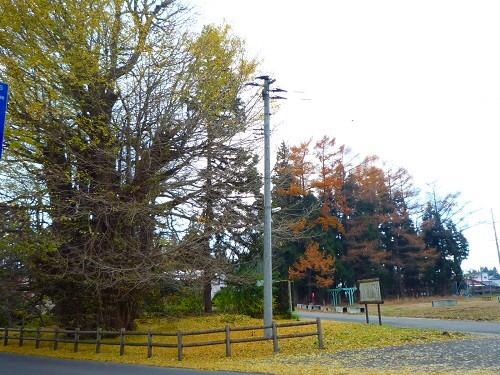 青森 風景 秋 新館神社のイチョウ 木 落ち葉 黄金 絨毯