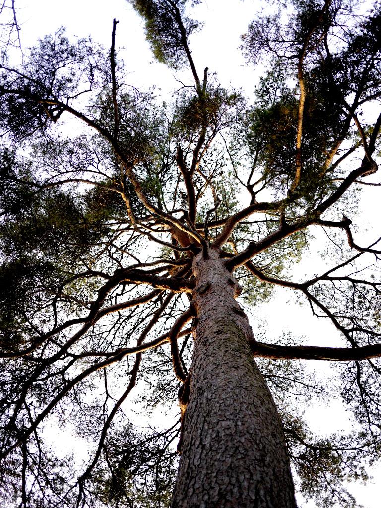 青森 風景 冬 秋 上北 六戸町 館野公園 松の木