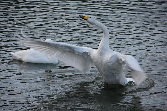 青森 風景 冬 上北 下田公園 白鳥飛来地