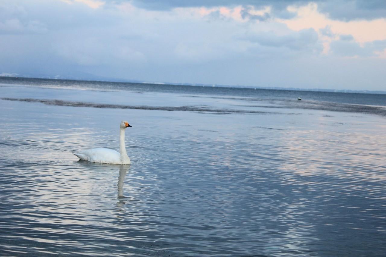 青森 風景 陸奥湾 釣り 海岸 冬 雪 波 白鳥