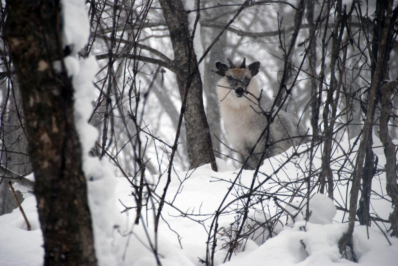 青森 上北 十和田市 風景 動物 冬 カモシカ 氈鹿 雪山