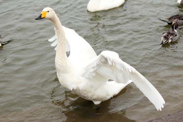 藤崎町平川白鳥の飛来地白鳥