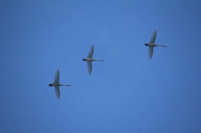 白鳥飛んでる2