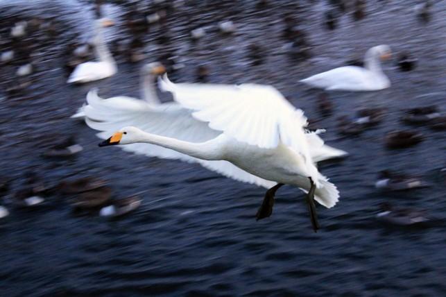 白鳥が美しく演出する、真っ白な青森の冬 ~大鰐町~