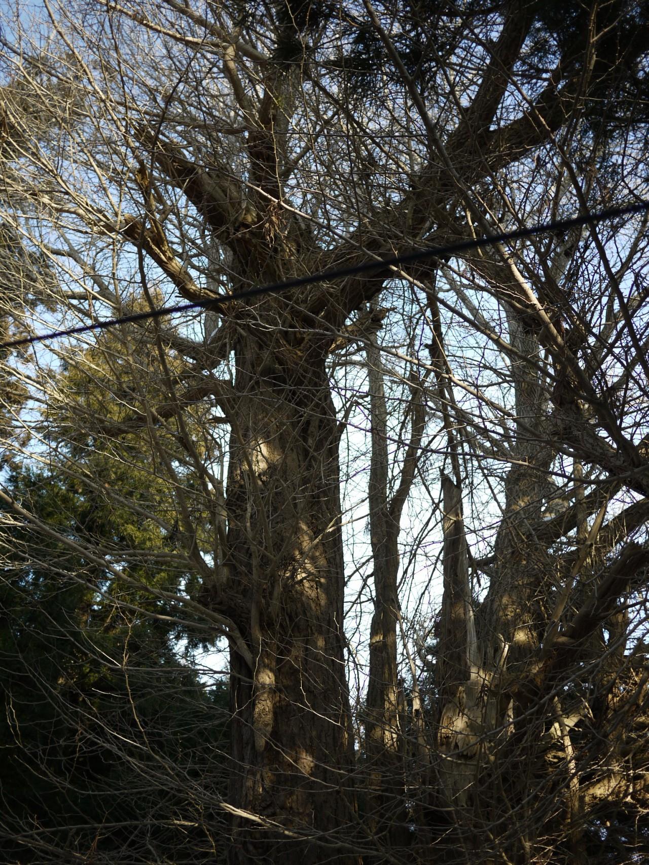 青森 風景 冬 上北 東北町 イチョウの木