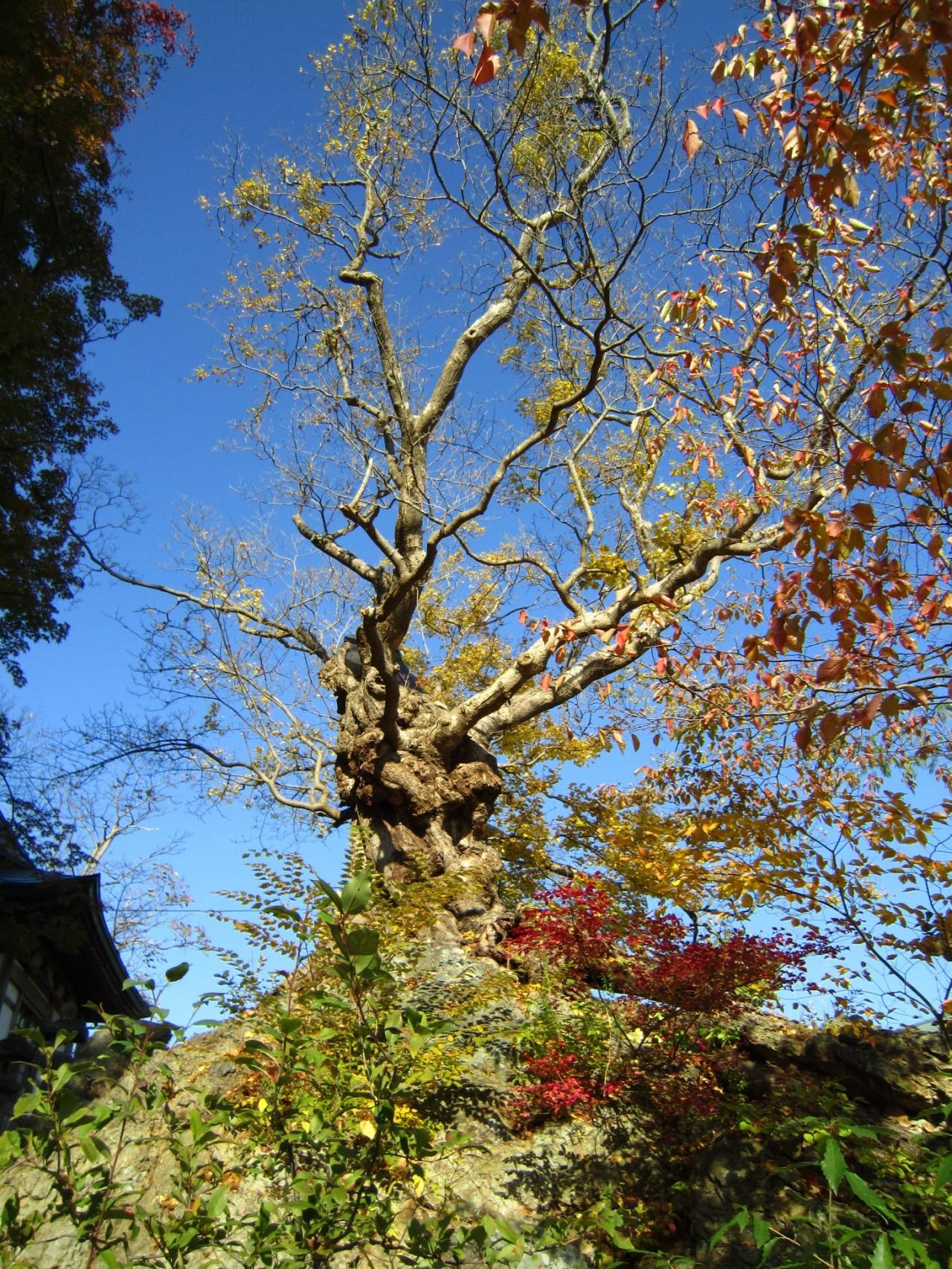 青森 津軽 黒石市 風景 巨木 春 昼 石割楓 樹齢