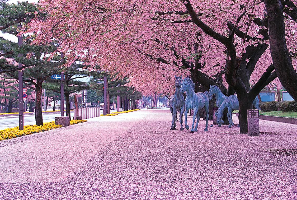 青森 上北 十和田市 官光街通り 駒街道 桜 日本の道100選 春