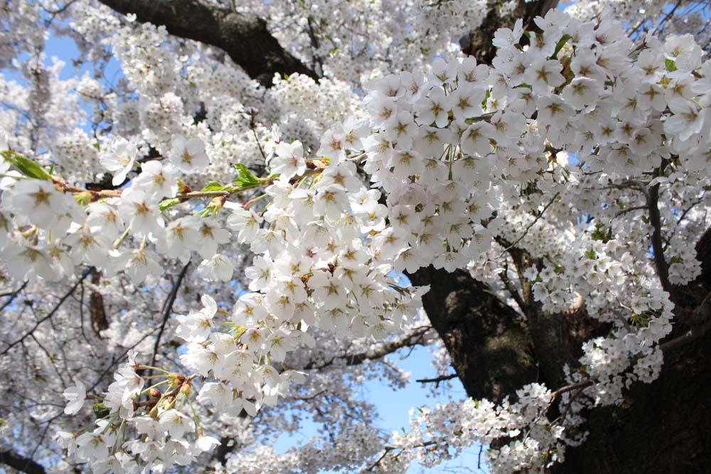 咲き誇る津軽の春
