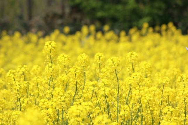 写真:岩木山と菜の花5月24日02