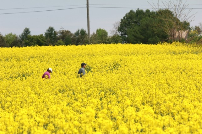 写真:岩木山と菜の花5月24日03