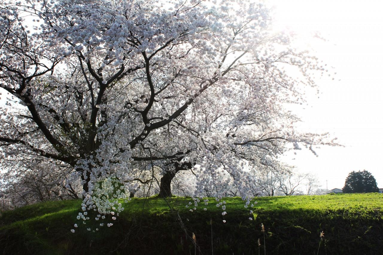 ワイルドすぎる浪岡城跡の桜