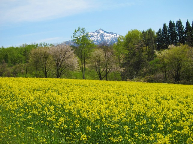 黄色の絨毯に浮かぶ岩木山 @鰺ヶ沢町菜の花畑