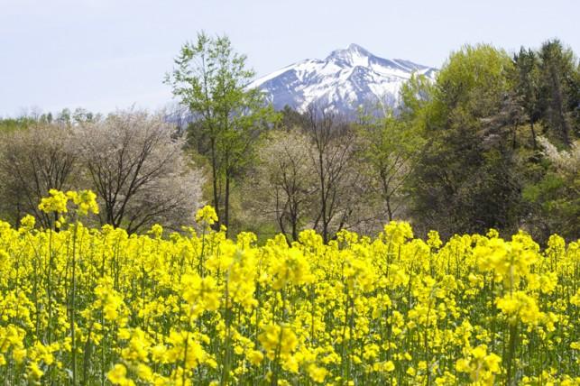写真:岩木山と菜の花02
