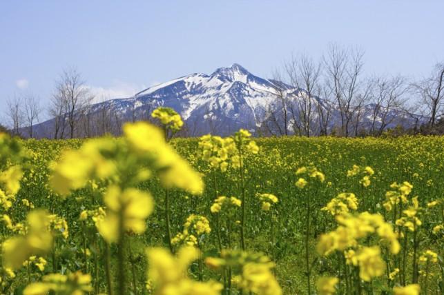 写真:岩木山と菜の花03