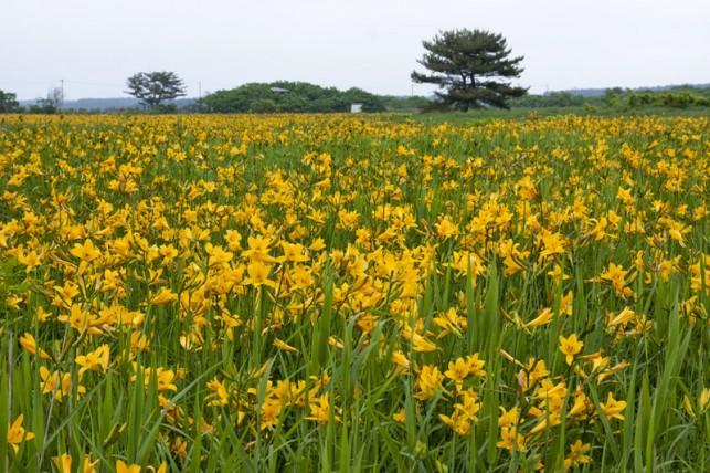 湿原に咲き揃うニッコウキスゲ @つがる市ベンセ湿原