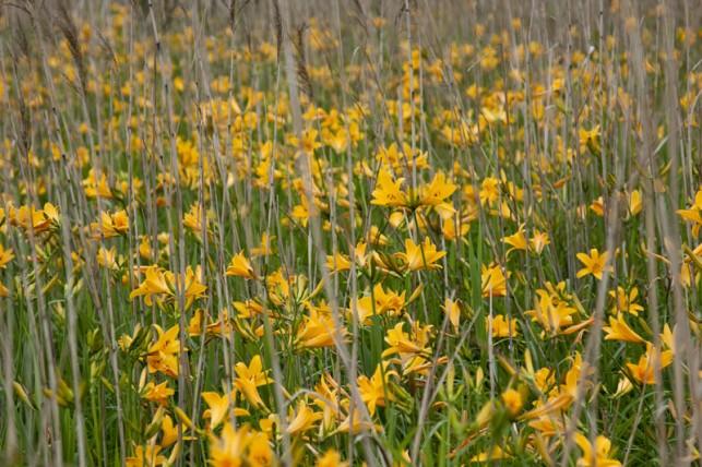 写真:ベンセ湿原のニッコウキスゲ02